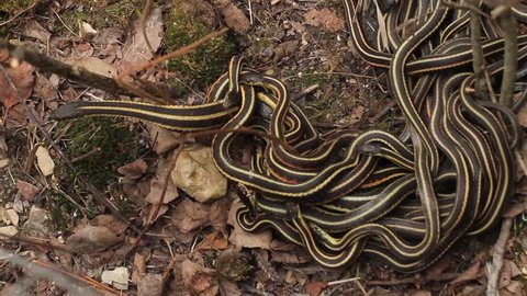 Group of red sided garter snake Thamnophis sirtalis parietalis mating in Narcisse, Manitoba, Canada.