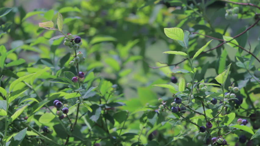 Man picks ripe blueberries from bush