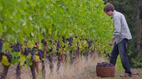 Man harvesting grapes in vineyard