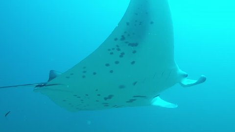 Manta Ray with open gills to get rid of parasites by cleaning wrasses.