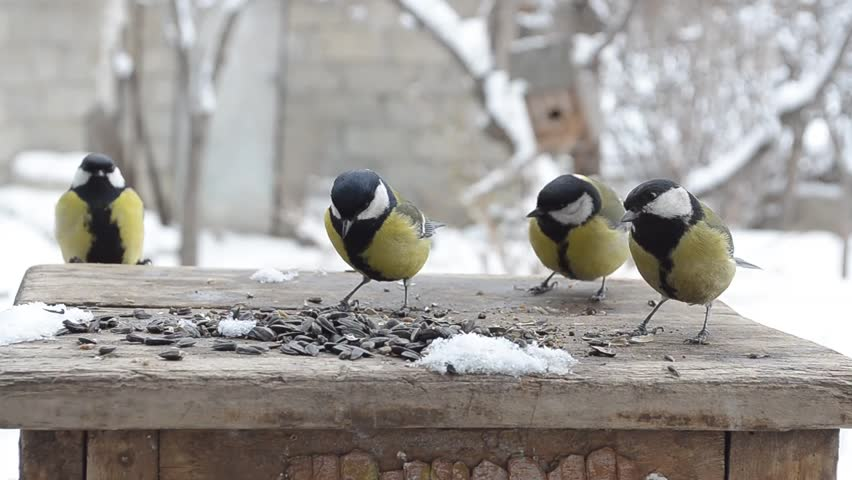 Great Tits eat seeds in winter