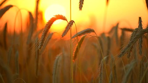 Wheat field. Ears of golden wheat close up. Beautiful Nature Sunset Landscape. Rural sunset Scenery. Background of ripening ears of meadow wheat field. Rich harvest Concept. 4K UHD video 3840X2160