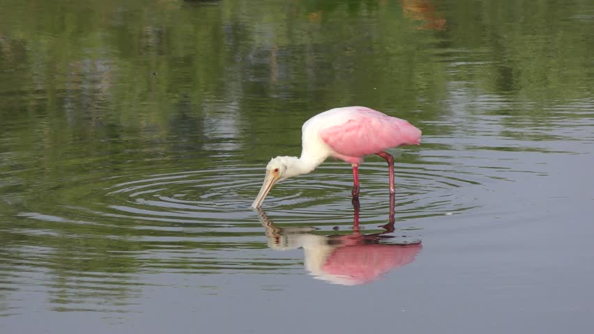 Roseate Spoonbill feeding in the pond