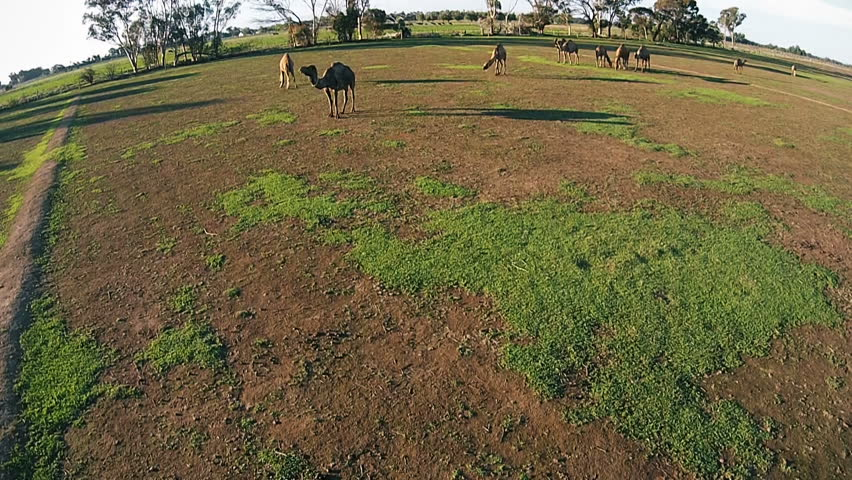 Camels graze on the green farm on fresh air | Shutterstock HD Video #25577312