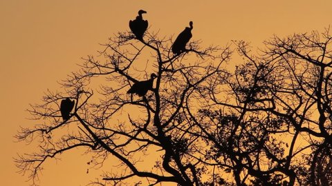 Vultures sitting in tree and one takes off, silhouette, golden light. Limpopo province, South Africa.