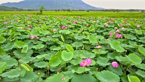 close aerial view wind shakes beautiful pink lotus flowers and big green leaves on field against distant mountain