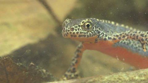 Alpine newt in a pond