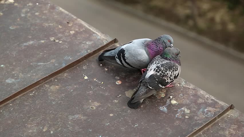 Couple of doves together on the house roof. Two pigeons on the roof clean feathers and communicates with each other. Pigeons sits on the edge of iron roof