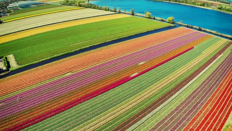 Aerial view of tulips field at sunny spring day. Nature background. Full HD, 1080p