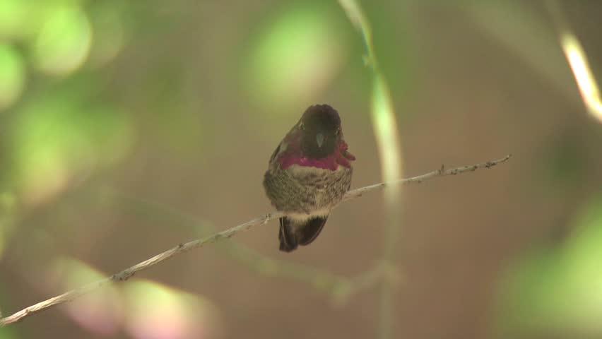 Hummingbird On A Tree Branch   Shutterstock HD Video #2582702