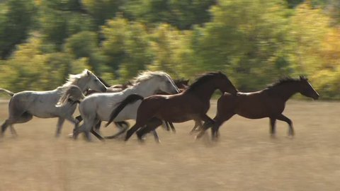 A Stampede Of Horses Gallops Through A Field