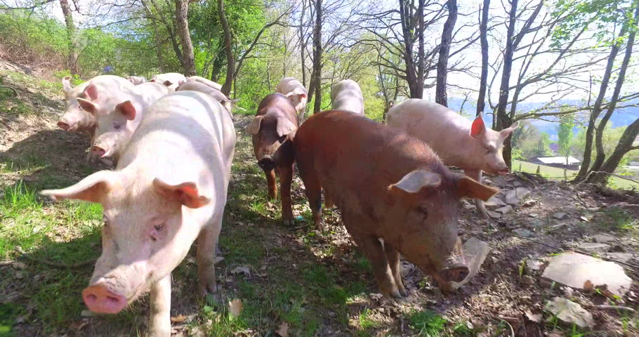 On the farm, group beautiful pigs (pink, brown) were let out for a walk along mountainside, on the background of the slope and trees, the concept: ecology, livestock, farming, bio, nutrition.