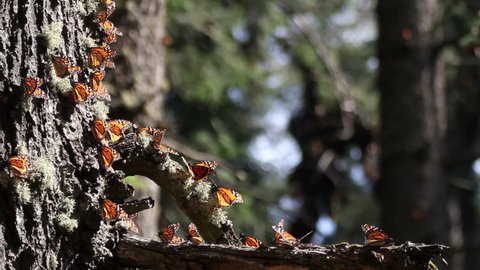 the amazing monarch butterfly sanctuary in mexico, where millions of butterflies return to each year from the USA and canada