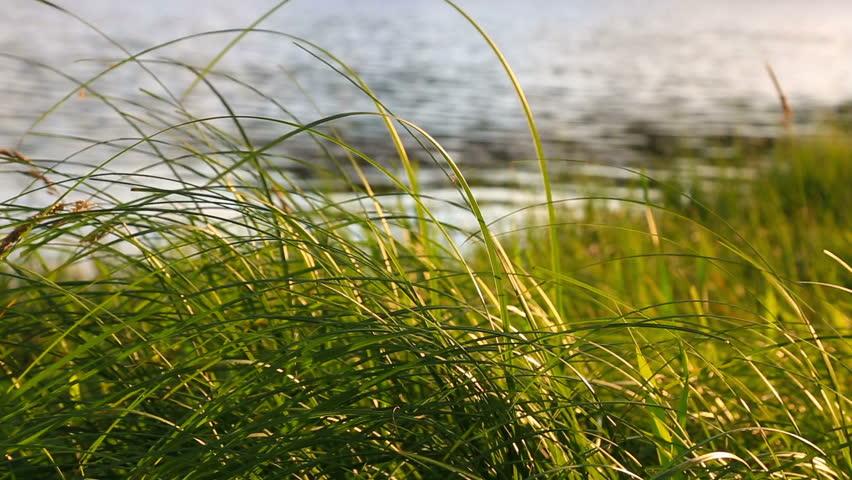 Grass at sunsett. Nature peaceful composition.