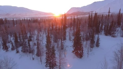 Beautiful pine trees forest cowered in snow. Early morning first warm light. Unique aerial drone shots in frizzing cold winter. North Siberia. Flight near tops to the sun