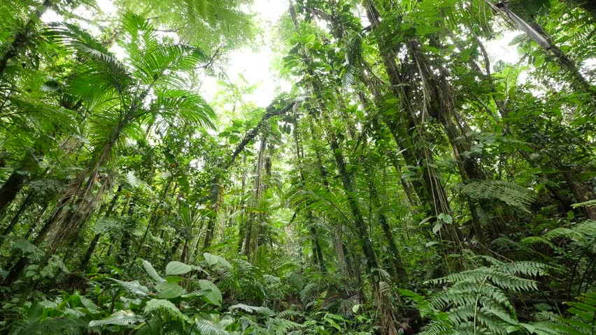 4K View through leaves and trees of rainforest canopy in tropical jungle Brazil. Beautiful scenic nature background of lush green forest with dense tree growing on big mountains of Jaboticabal