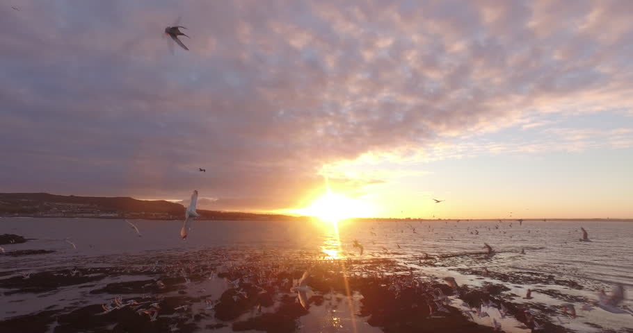 Drone shot trough group of seagulls at the coast of Ireland's eye, Ireland during sunset.