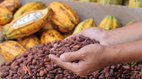 man picks up and drops dried cocoa beans into a tray