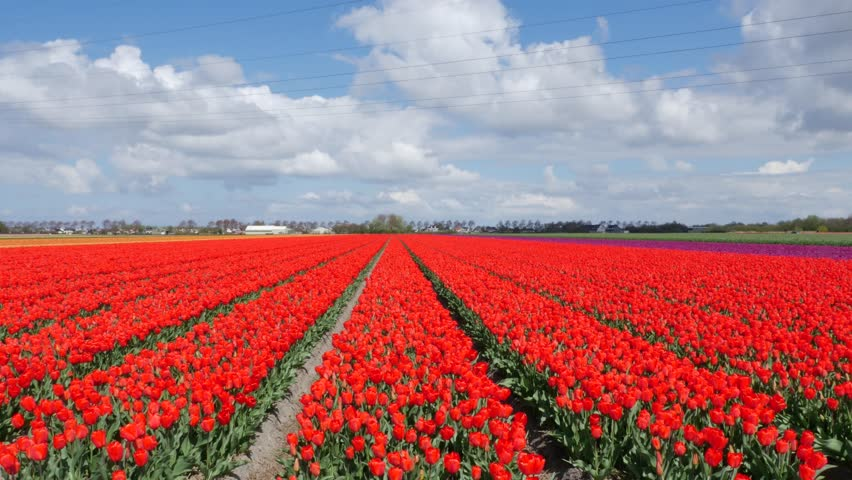Red Tulip flower fields in Holland with typical Dutch sky with beautiful clouds