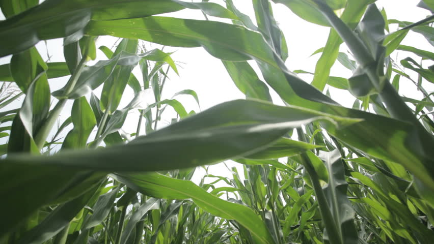 Close up dolly shot in middle of a cornfield  | Shutterstock HD Video #2616932