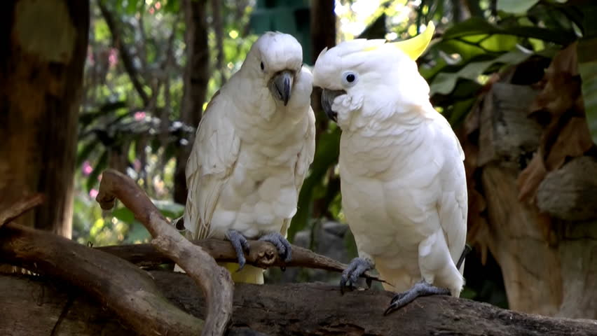 Two golden crested cockatoos kissing