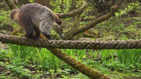 The coati (nasua nasua) descends the rope, HD 1080p