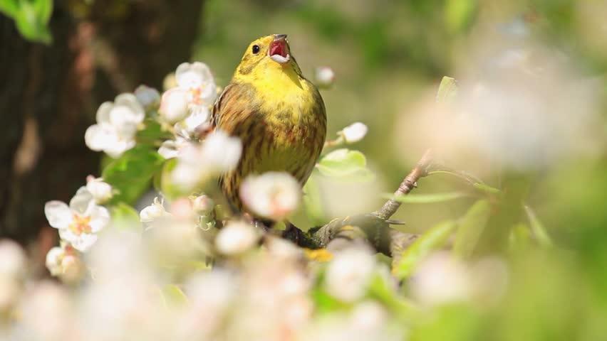 Yellowhammer singing beautiful yellow bird the song of spring flowers/Yellowhammer singing beautiful yellow bird the song of spring flowers