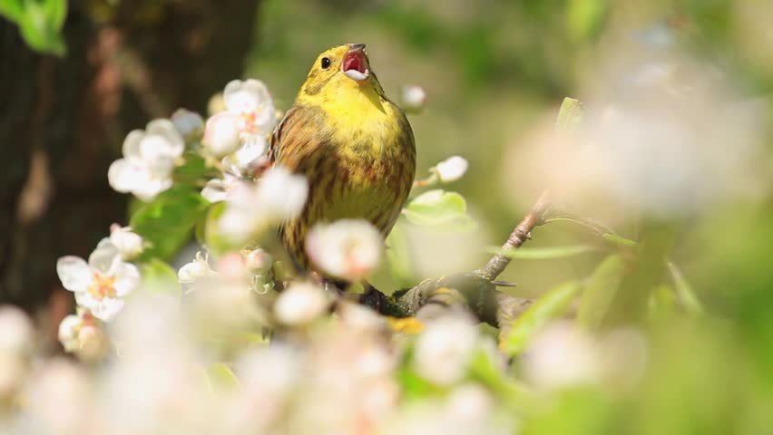 Beautiful yellow bird with young leaves and white flowersbeautiful yellowhammer singing beautiful yellow bird the song of spring flowersyellowhammer singing beautiful yellow bird mightylinksfo Image collections