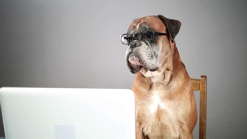 Boxer dog working on laptop and taking off eyeglasses.