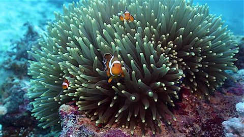 Anemone fish or clownfish family in anemone