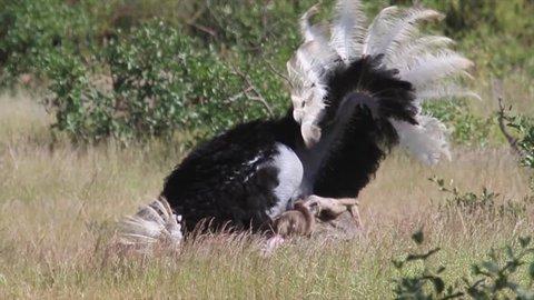 Ostrich dancing Ostrich dancing from Kenya