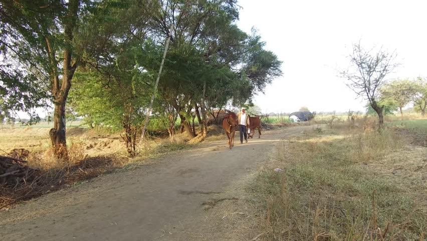 Farmer with his bulls walking to farm in rural village Salunkwadi, Ambajogai, Beed, Maharashtra, India, South East Asia.