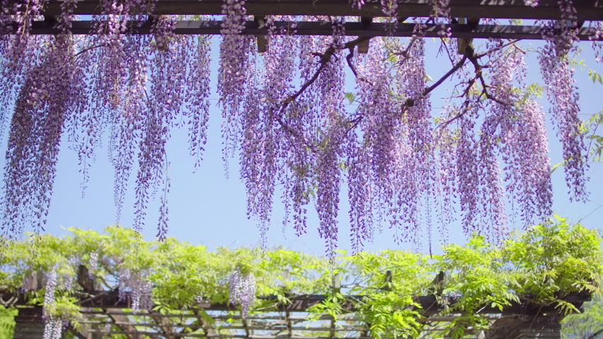 Hanging Japanese wisteria flowers in morning light