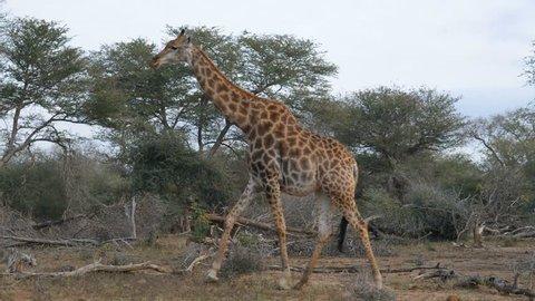 Giraffe in the bush. Wildlife Safari in the Kruger National Park, major travel destination in South Africa.