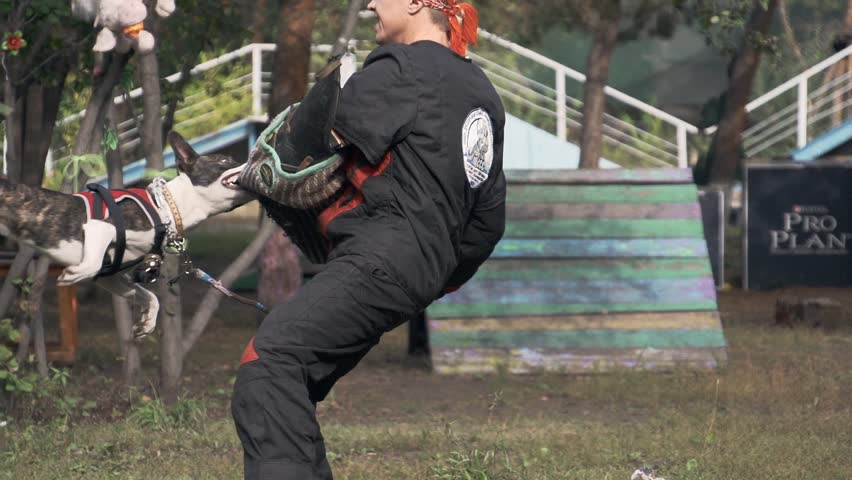 September 15, 2014, Omsk, Russia. Guard dog training. Dog breeds american staffordshire terrier. Slow motion.