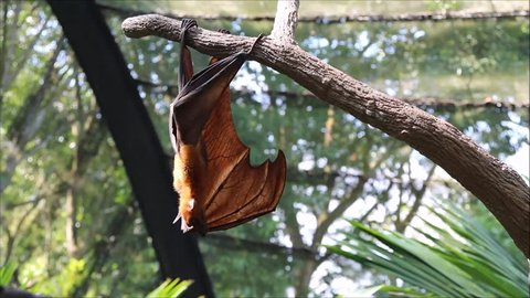 A Malayan Flying Fox hanging to a tree branch