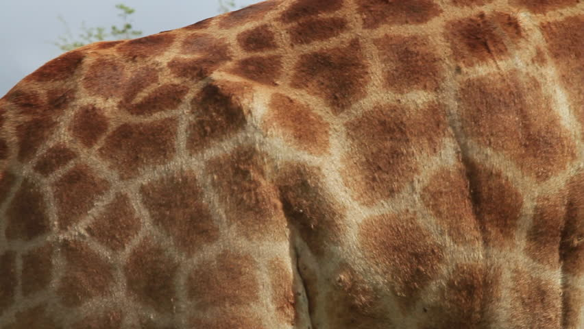 Close-up shot of Giraffe skin (Giraffa camelopardalis) in an African game reserve. Note: these are not captive animals in a zoo or theme park - they are wild and filmed on location in Africa