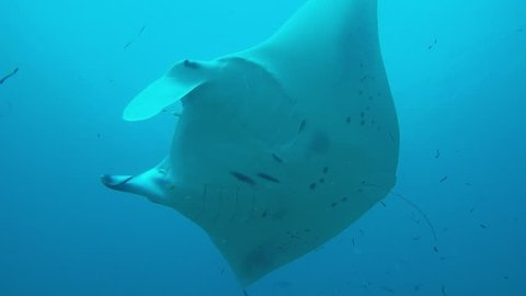 Two Manta Ray swimming on a cleaner station to get rid of parasites by cleaner wrasses.