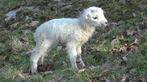 Newborn spring lamb tries to walk on wobbly legs, falls onto its front legs, bleats and gets back up