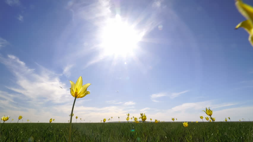 Wild yellow tulips in a sunny meadow on background sky. Sunrise. The steppe comes to life in the spring.