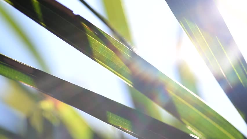 Green palm leafs moving with the wind backlit by sun and blue sky, with lens flares