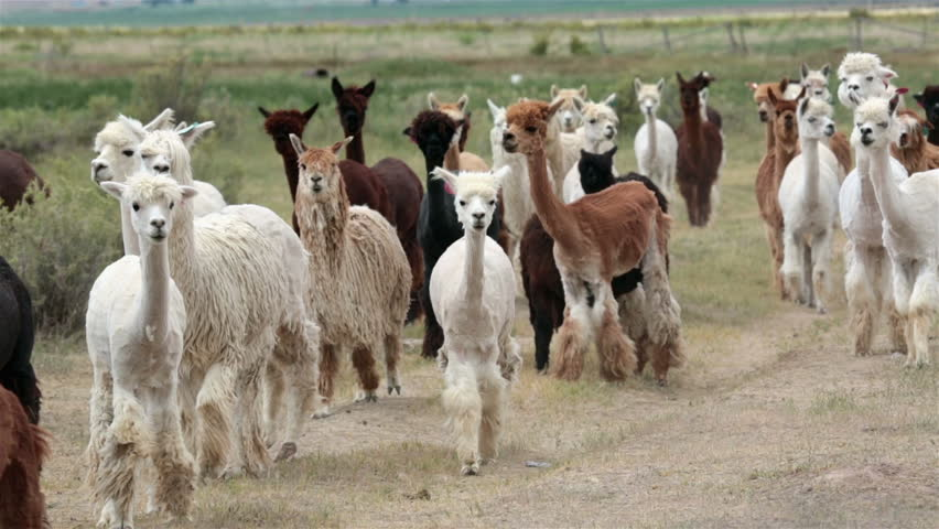 Alpaca animal herd in central Utah farm ranch