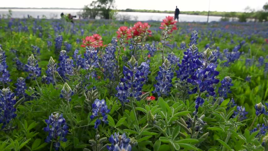 Wild flower of Texas State in Ennis City, Texas, USA. Bluebonnets and Indian paintbrush field in a windy day. The flowers are moving by wind blows