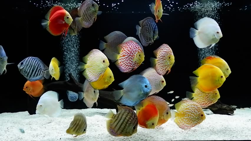 Red Discus Fish In Aquarium Stock Footage Video 2681087
