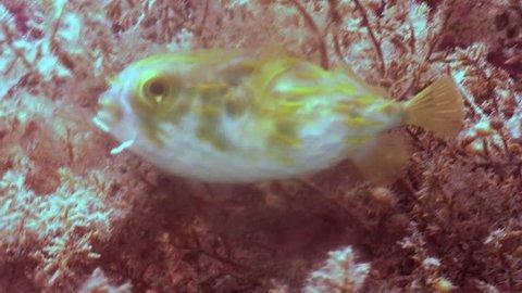 Slender-spined porcupinefish  (Diodon nicthemerus)