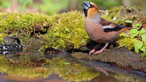 Hawfinch. Adult male drinks water in spring forest.