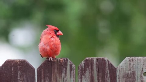 Cardinal red bird on a wooden fence.