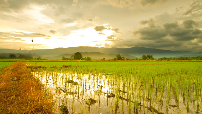 Time Lapse: Rice farming in the rainy season in Thailand.