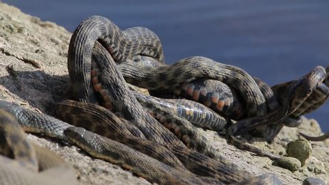 Snake mating. Copulation of snakes. Dice snake in Caspian sea.