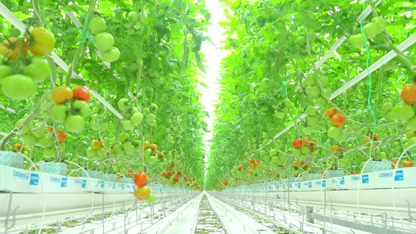 Rows of tomato hydroponic plants in greenhouse  | Shutterstock HD Video #26831512